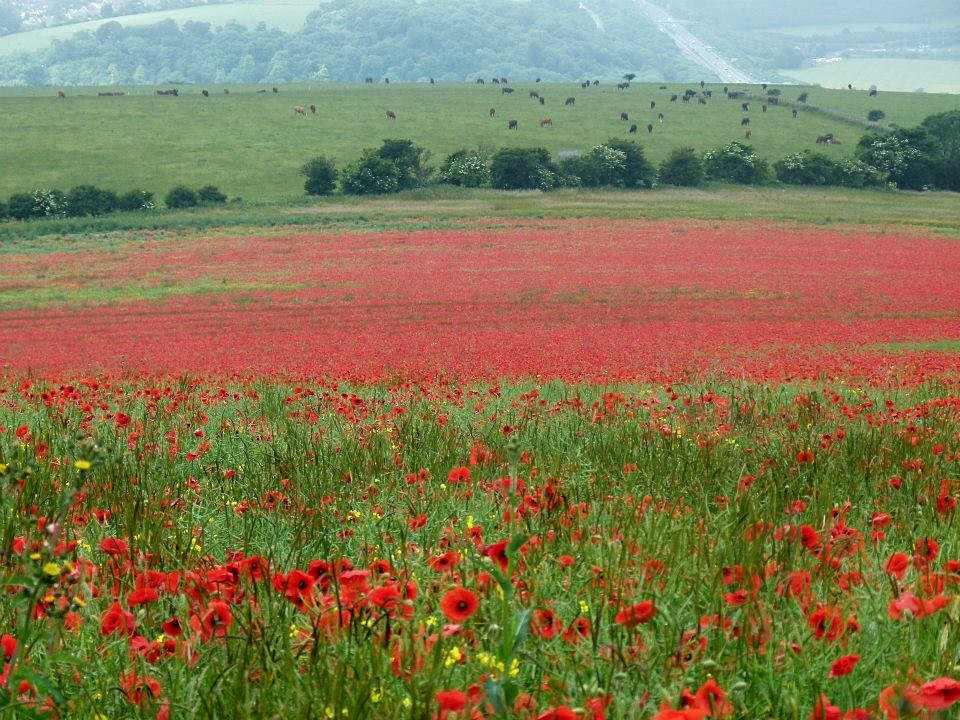 poppy-field-low-res